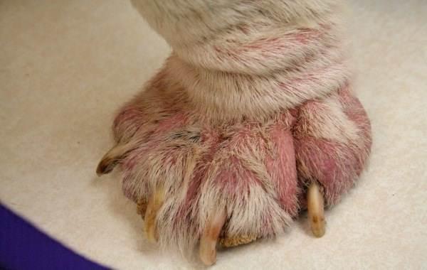 Демодекоз-у-собак-Описание-особенности-симптомы-и-лечение-демодекоза-3