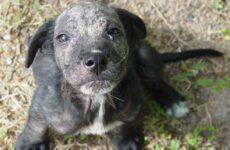 Демодекоз у собак. Описание, особенности, симптомы и лечение демодекоза