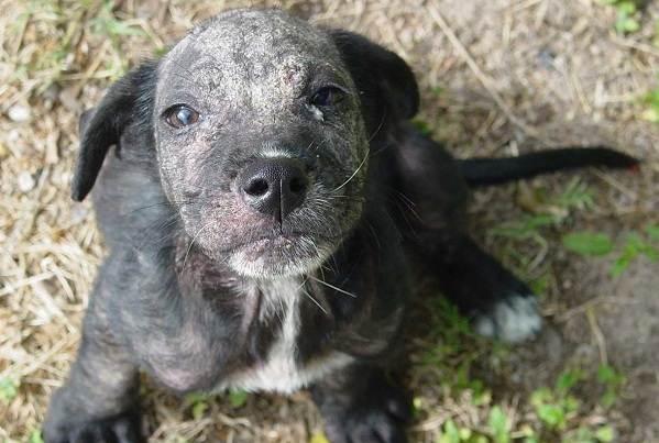 Демодекоз-у-собак-Описание-особенности-симптомы-и-лечение-демодекоза-4