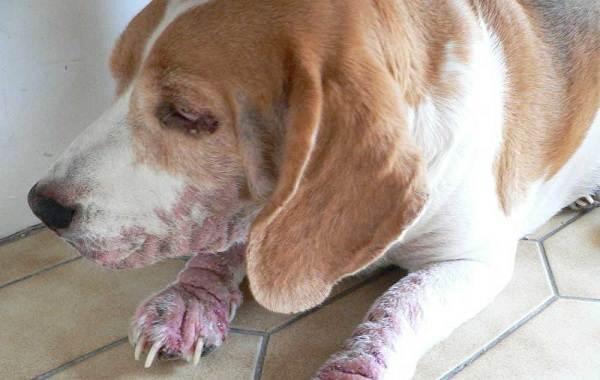 Демодекоз-у-собак-Описание-особенности-симптомы-и-лечение-демодекоза-9
