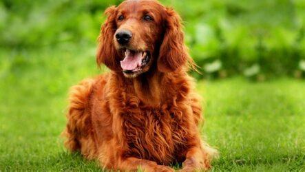 Ирландский сеттер собака. Описание, особенности, виды, уход и цена породы