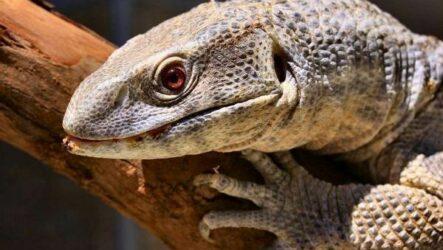 Капский варан животное. Описание, особенности, образ жизни и среда обитания капского варана