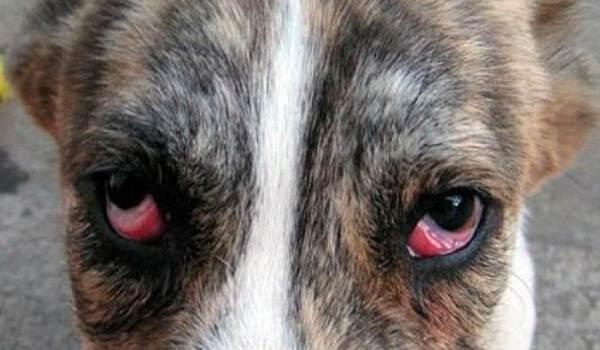Конъюнктивит-глаз-у-собак-Причины-симптомы-виды-и-лечение-конъюнктивита-у-собак-1