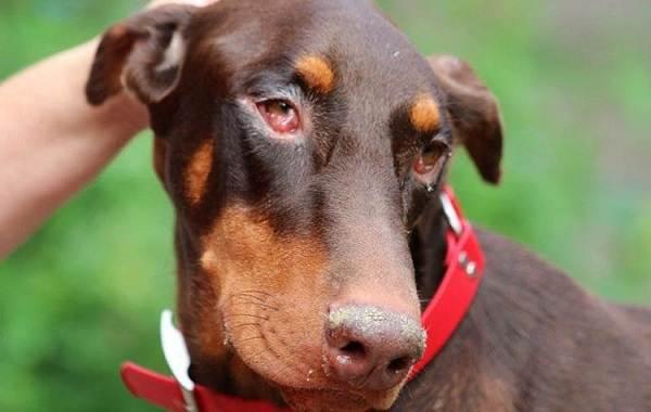 Конъюнктивит-глаз-у-собак-Причины-симптомы-виды-и-лечение-конъюнктивита-у-собак-3