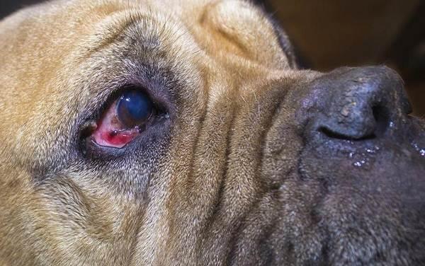 Конъюнктивит-глаз-у-собак-Причины-симптомы-виды-и-лечение-конъюнктивита-у-собак-5