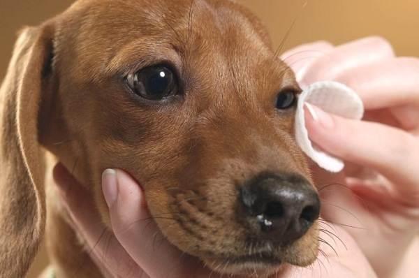 Конъюнктивит-глаз-у-собак-Причины-симптомы-виды-и-лечение-конъюнктивита-у-собак-8