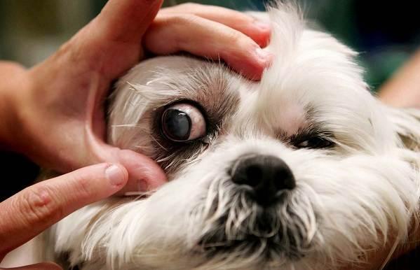 Конъюнктивит-глаз-у-собак-Причины-симптомы-виды-и-лечение-конъюнктивита-у-собак-9