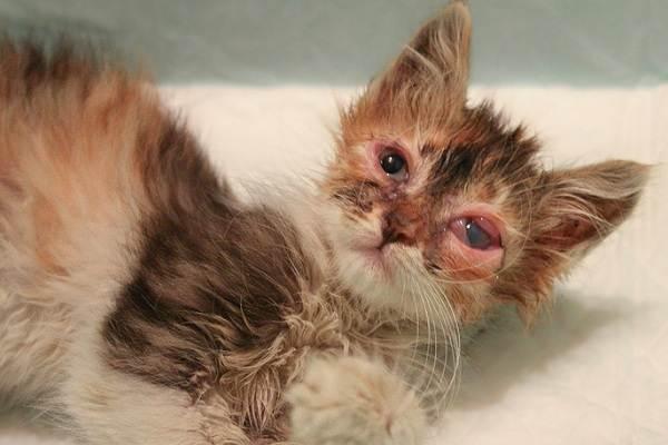 Конъюнктивит-у-кошек-Симптомы-причины-лечение-и-профилактика-болезни-10