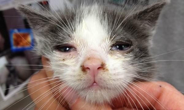 Конъюнктивит-у-кошек-Симптомы-причины-лечение-и-профилактика-болезни-12