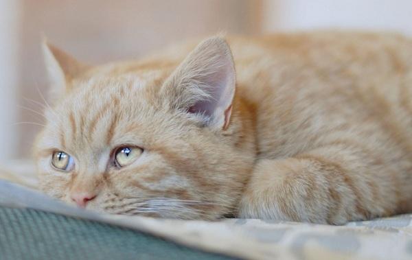 Конъюнктивит-у-кошек-Симптомы-причины-лечение-и-профилактика-болезни-15