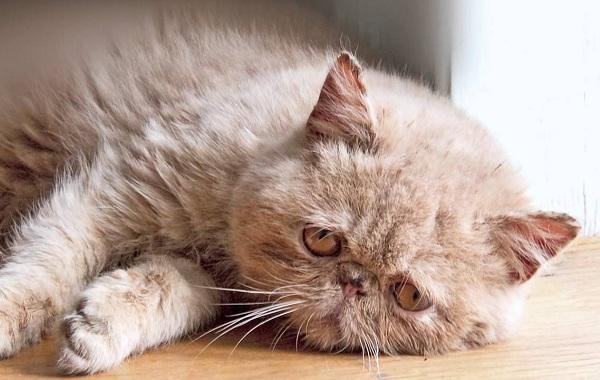 Конъюнктивит-у-кошек-Симптомы-причины-лечение-и-профилактика-болезни-16