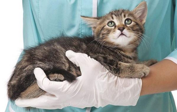 Конъюнктивит-у-кошек-Симптомы-причины-лечение-и-профилактика-болезни-17