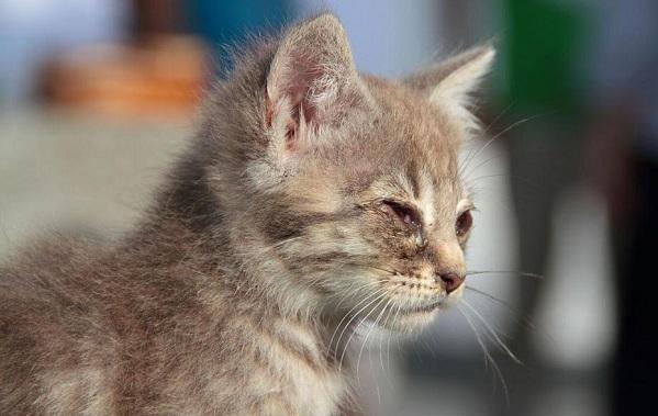Конъюнктивит-у-кошек-Симптомы-причины-лечение-и-профилактика-болезни-18