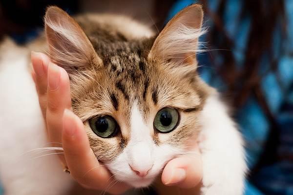 Конъюнктивит-у-кошек-Симптомы-причины-лечение-и-профилактика-болезни-2