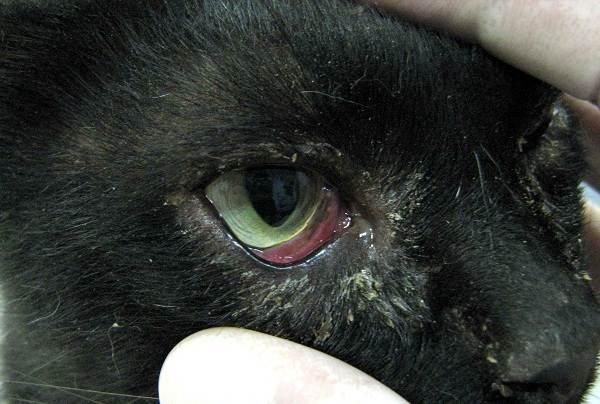 Конъюнктивит-у-кошек-Симптомы-причины-лечение-и-профилактика-болезни-4