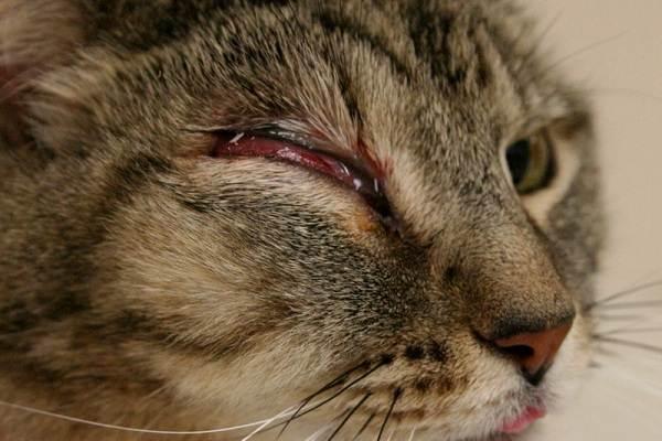 Конъюнктивит-у-кошек-Симптомы-причины-лечение-и-профилактика-болезни-6