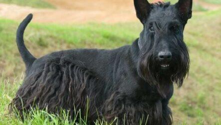 Скотч терьер собака. Описание, особенности, виды, уход и цена породы скотч терьер