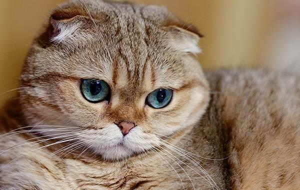 Скоттиш-фолд-кошка-Описание-особенности-виды-уход-и-цена-породы-скоттиш-фолд-1
