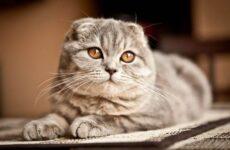 Скоттиш фолд кошка. Описание, особенности, виды, уход и цена породы скоттиш фолд