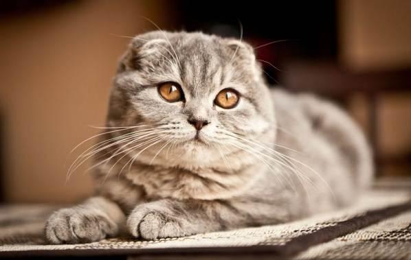 Порода кошек скоттиш фолд шотландская вислоухая