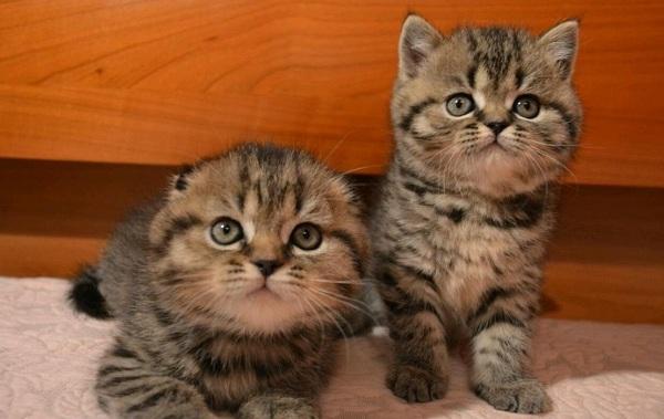 Скоттиш-фолд-кошка-Описание-особенности-виды-уход-и-цена-породы-скоттиш-фолд-13