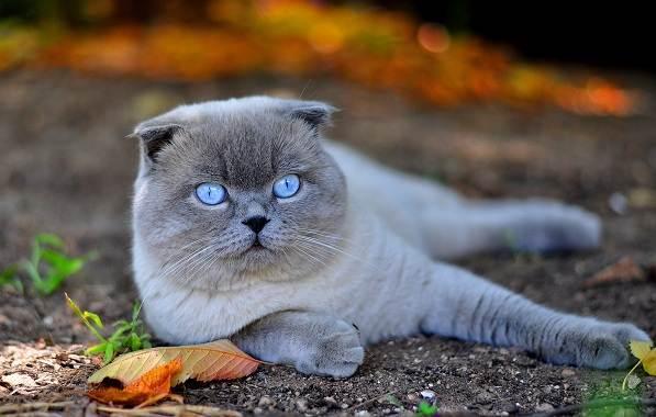 Скоттиш-фолд-кошка-Описание-особенности-виды-уход-и-цена-породы-скоттиш-фолд-2