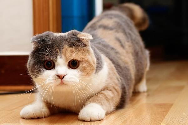 Скоттиш-фолд-кошка-Описание-особенности-виды-уход-и-цена-породы-скоттиш-фолд-3