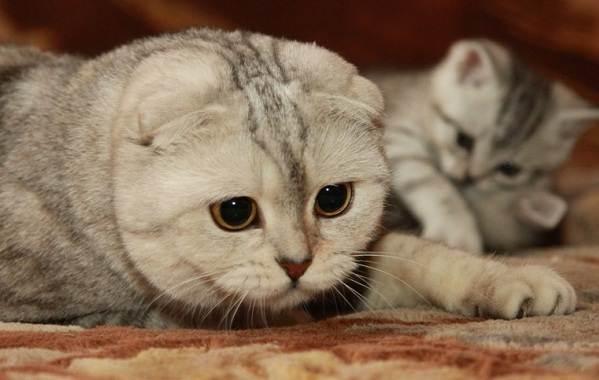 Скоттиш-фолд-кошка-Описание-особенности-виды-уход-и-цена-породы-скоттиш-фолд-4