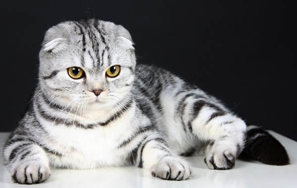 Скоттиш-фолд-кошка-Описание-особенности-виды-уход-и-цена-породы-скоттиш-фолд-5