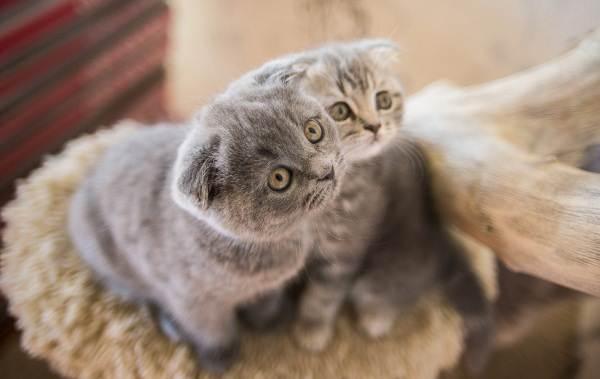 Скоттиш-фолд-кошка-Описание-особенности-виды-уход-и-цена-породы-скоттиш-фолд-6