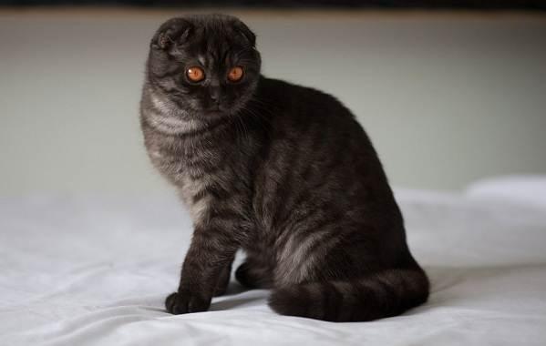 Скоттиш-фолд-кошка-Описание-особенности-виды-уход-и-цена-породы-скоттиш-фолд-7