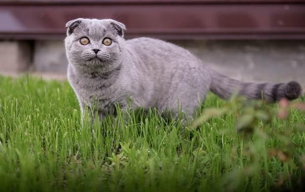 Скоттиш-фолд-кошка-Описание-особенности-виды-уход-и-цена-породы-скоттиш-фолд-9