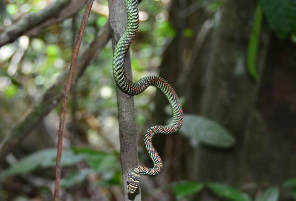 Виды-летающих-змей-Описание-особенности-образ-жизни-и-среда-обитания-летающих-видов-змей-11