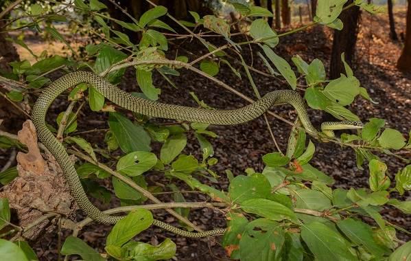 Виды-летающих-змей-Описание-особенности-образ-жизни-и-среда-обитания-летающих-видов-змей-3