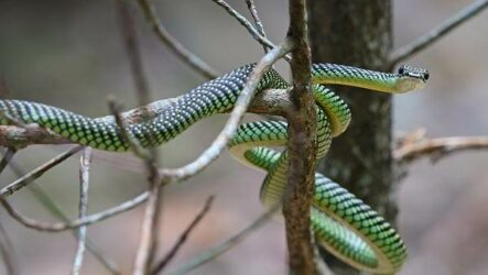 Виды летающих змей. Описание, особенности, образ жизни и среда обитания летающих видов змей