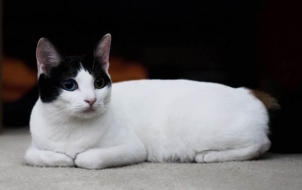 Японский-бобтейл-кошка-Описание-особенности-уход-и-цена-японского-бобтейла-1