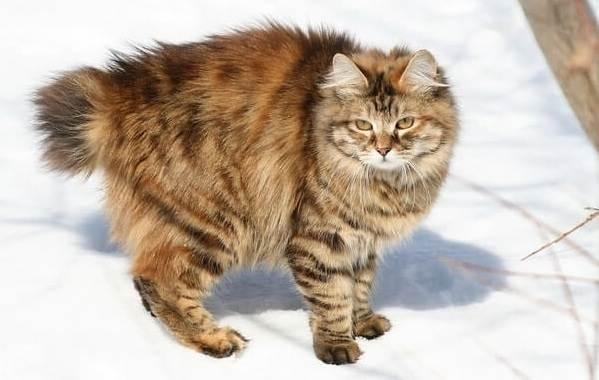 Японский-бобтейл-кошка-Описание-особенности-уход-и-цена-японского-бобтейла-10