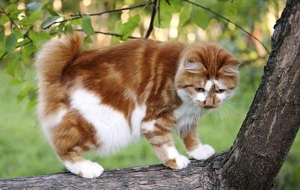 Японский-бобтейл-кошка-Описание-особенности-уход-и-цена-японского-бобтейла-13