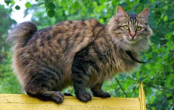 Японский-бобтейл-кошка-Описание-особенности-уход-и-цена-японского-бобтейла-14