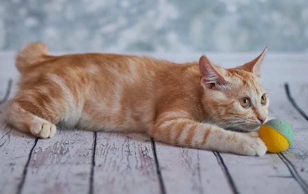 Японский-бобтейл-кошка-Описание-особенности-уход-и-цена-японского-бобтейла-3