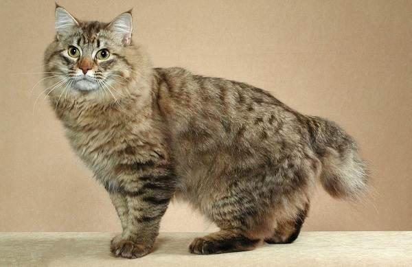 Японский-бобтейл-кошка-Описание-особенности-уход-и-цена-японского-бобтейла-5