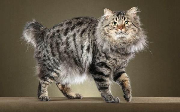 Японский-бобтейл-кошка-Описание-особенности-уход-и-цена-японского-бобтейла-6