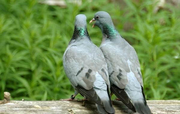 Клинтух-птица-Описание-особенности-виды-образ-жизни-и-среда-обитания-клинтуха-10