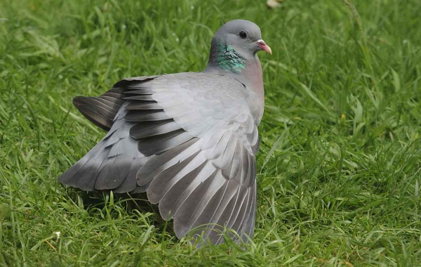 Клинтух-птица-Описание-особенности-виды-образ-жизни-и-среда-обитания-клинтуха-11