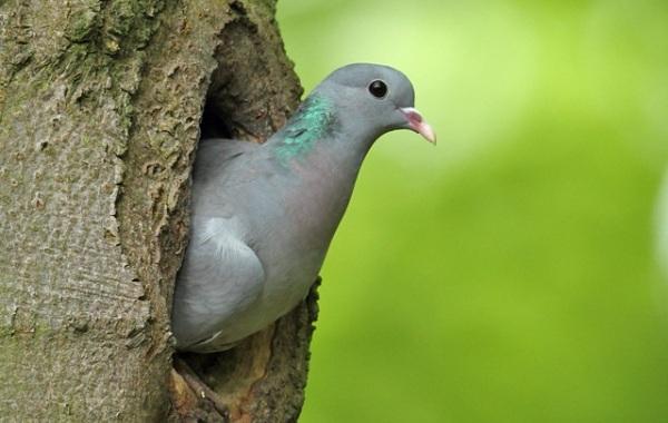 Клинтух-птица-Описание-особенности-виды-образ-жизни-и-среда-обитания-клинтуха-12