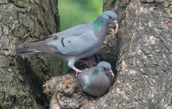 Клинтух-птица-Описание-особенности-виды-образ-жизни-и-среда-обитания-клинтуха-14