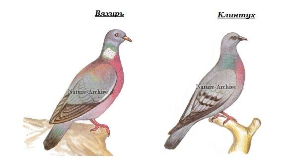 Клинтух-птица-Описание-особенности-виды-образ-жизни-и-среда-обитания-клинтуха-15