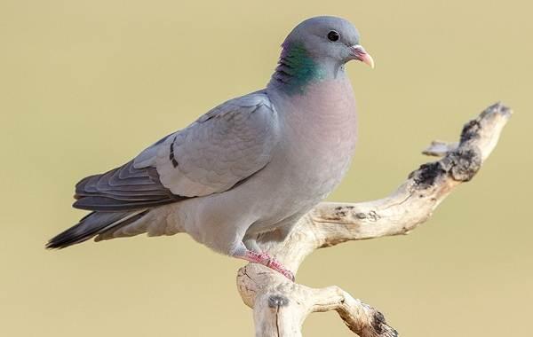 Клинтух-птица-Описание-особенности-виды-образ-жизни-и-среда-обитания-клинтуха-2