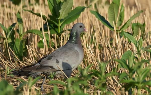 Клинтух-птица-Описание-особенности-виды-образ-жизни-и-среда-обитания-клинтуха-3