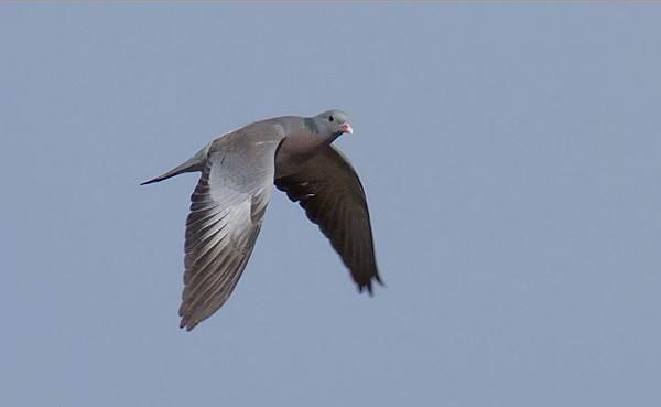 Клинтух-птица-Описание-особенности-виды-образ-жизни-и-среда-обитания-клинтуха-7